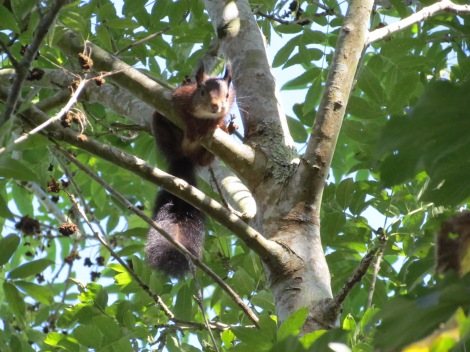 Ardilla en Galicia, Squirrel